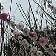 白とピンクの梅の花